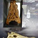 Asiosuchus-Schädel