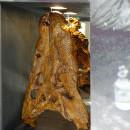 Asiosuchus-Schädels